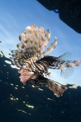 Lion fish hunting in the early morning.